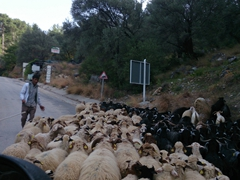 Traffic jam! Locals clearing the road of sheep and goats so we can pass