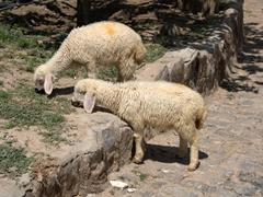 Lambs grazing in Cappadocia
