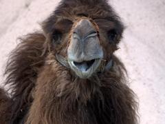 A happy camel greets us; Uchisar