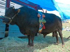 A champion bull proudly wears its belt while it waits for the next bout in the shade