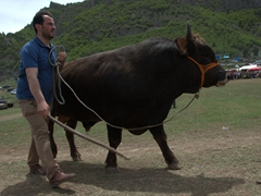 A massive bull enters the competition; Kilickaya