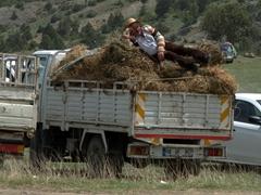 Taking a nap; Kilickaya bull festival
