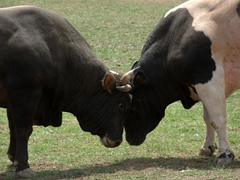 Bulls locking horns as they duel each other for dominance; Kilickaya bull festival