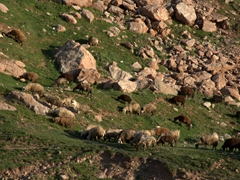 Grazing sheep; Dogubayazit