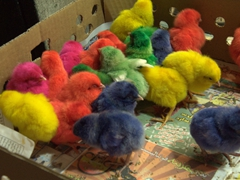 Colored chicks for sale (30 cents each); Shiraz