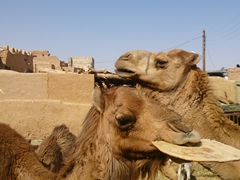 Camels munching on hard bread; Garmeh