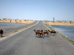 Camels crossing the road