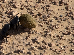 Dung beetles fight over their precious cargo