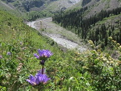 Beautiful alpine flowers in full bloom on this glorious hiking day; Ala Archa