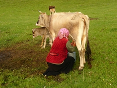 Kyrgyz woman milking a cow; Lake Son-Kul