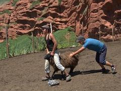 Kyrgyz boys selecting a sheep to be sheered; Jeti-Ögüz