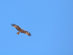 An eagle flies high overhead; Lake Issyk-Kul