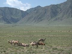 Nomadic camels; Kyrgyz countryside