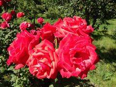 Massive roses; Karakol