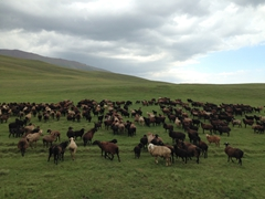 Flock of sheep; Lake Son-Kul