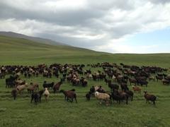 Flock of sheep; Lake Son-Kul