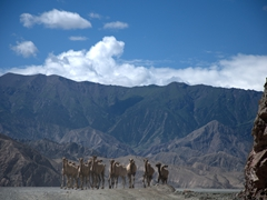 Camels making a run for it; Karakoram Highway