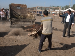 This poor cow fell heavily to the ground while attempting to leap off the back of this truck; Kashgar Sunday Market