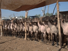 Sheep on display at the Kashgar Sunday Market