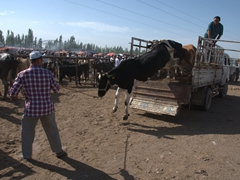 This cow managed to successfully leap to the ground; Kashgar Sunday Market