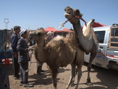 Camel bellowing its dismay; Kashgar Sunday Market