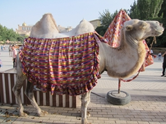 Camel on display at Kashgar's central square