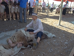 Old man shearing a sheep