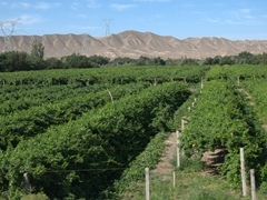 Vineyards near Jiaohe