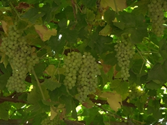 Loads of delicious grapes hanging on the trellises of Karez