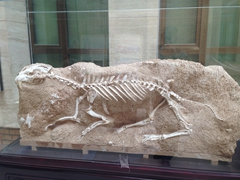 Another of the numerous prehistoric skeletons on display at the Turpan museum