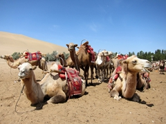 Camels taking a break at the Singing Sand Dunes; Dunhuang