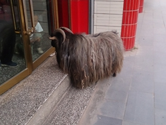 Grumpy goat terrorizing locals in Xiahe (be careful - he likes to headbutt people!)
