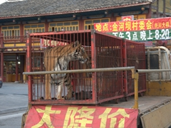 Poor tiger on display in Chuanzhusi