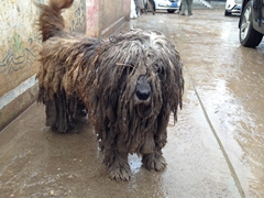 Poor soaking wet dog; Langmu