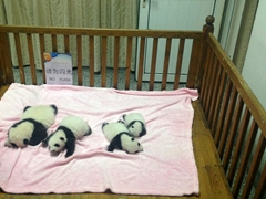 Baby pandas in the nursery; Chengdu Breeding Center