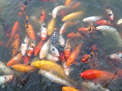 Hungry carp; Panda Breeding Center