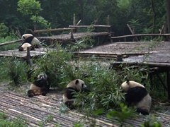 Panda platform at the breeding center; Chengdu