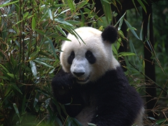 Happy panda muncher