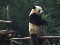 Oh yeah! Panda straddling the fence