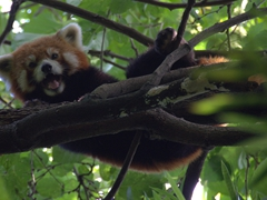 Red panda laughing at us from the tree top!