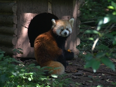 Red panda feeding time
