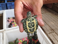 Turtle for sale; Kunming Flower & Bird Market