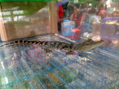 Baby crocodile at the Kunming Flower & Bird Market