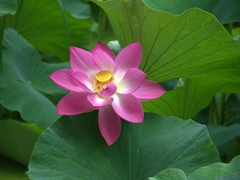 Lotus flower at Green Lake Park; Kunming
