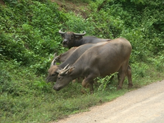 Water buffalo by the roadside