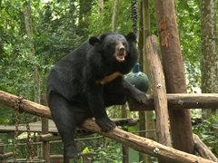 Rescued from poachers, Asiatic black bears (moon bears) get a second lease on life at the Kuang Si rescue center