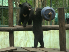 Moon bear cubs wrestling around