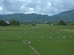 Storks in the rice paddies near Muang Sing