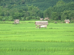 Rice paddy fields near Luang Namtha