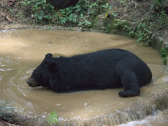 A moon bear takes a refreshing dip; Kuang Si rescue center
